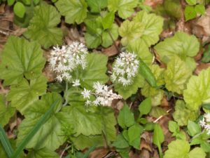 Picture of Foamflower (Tiarella cordifolia)