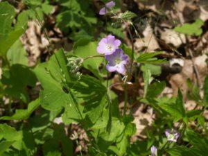 Picture of Wild Geranium (Geranium maculatum)