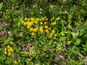 Picture of Golden Ragwort (Senecio aureus)