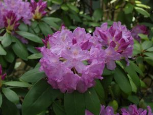 Picture of Rosebay Rhododendron (Rhododendron maximum)