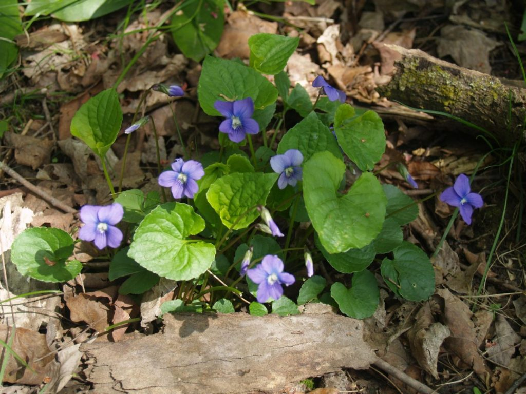 Picture of wetland blue violet (Viola cucullata) in the border garden of McMullen House Bed & Breakfast