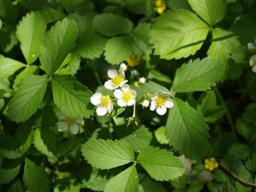 Picture of Wild Strawberry (Fragaria virginica)