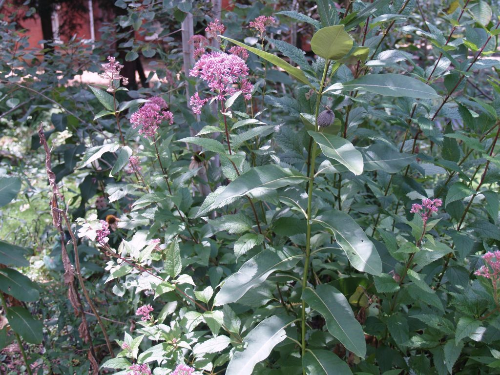 Picture of Spotted Joe-Pye-Weed (Eupatorium maculatum) in Butterfly Garden