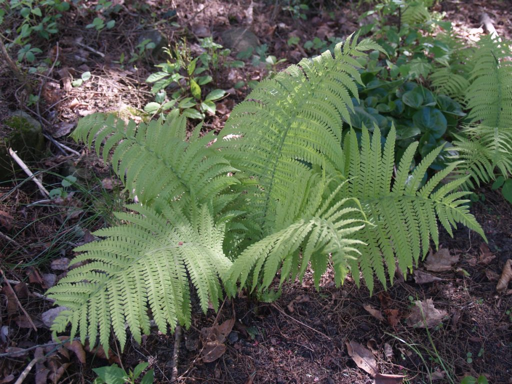 Picture of Ostrich Fern (Matteuccia struthiopteris) in Woodland Garden