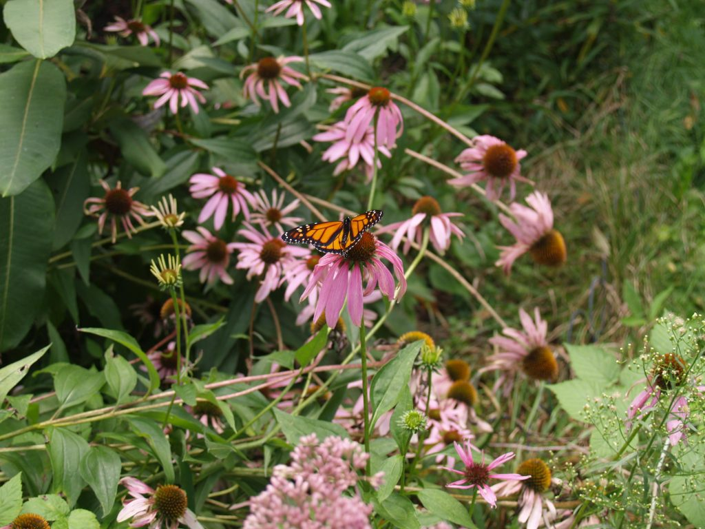 Picture Monarch Butterfly on Purple Coneflower in Butterfly Garden