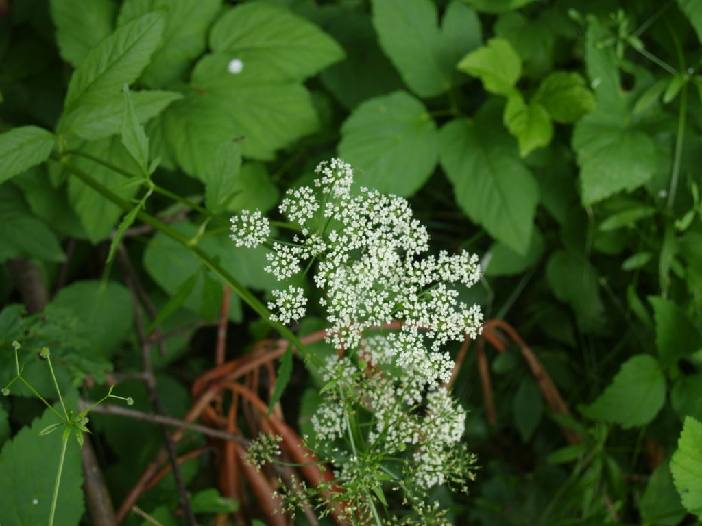 Picture of Wild Sarsaparilla (Aralia nudicaulis) in Woodland Garden