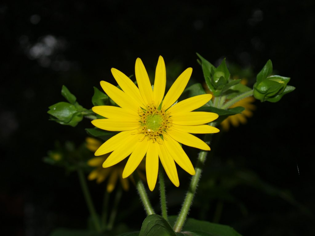 Picture of Yellow Cup (Silphium perfoliatum)